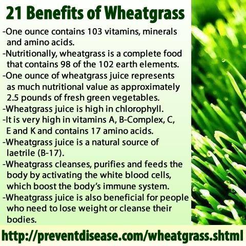 Wheatgrass Organic Seed and Large Trays