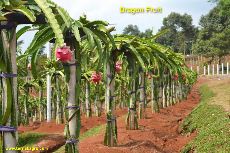How to prepare dragon fruit seeds for planting